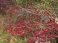 Roadside berries - geograph.org.uk - 600997.jpg