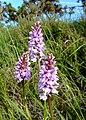 Roadside orchids - geograph.org.uk - 851998.jpg