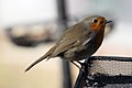 Robin - March 2010 (4444229622).jpg