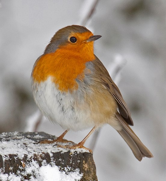 File:Robin in the snow 3 (4250400943).jpg