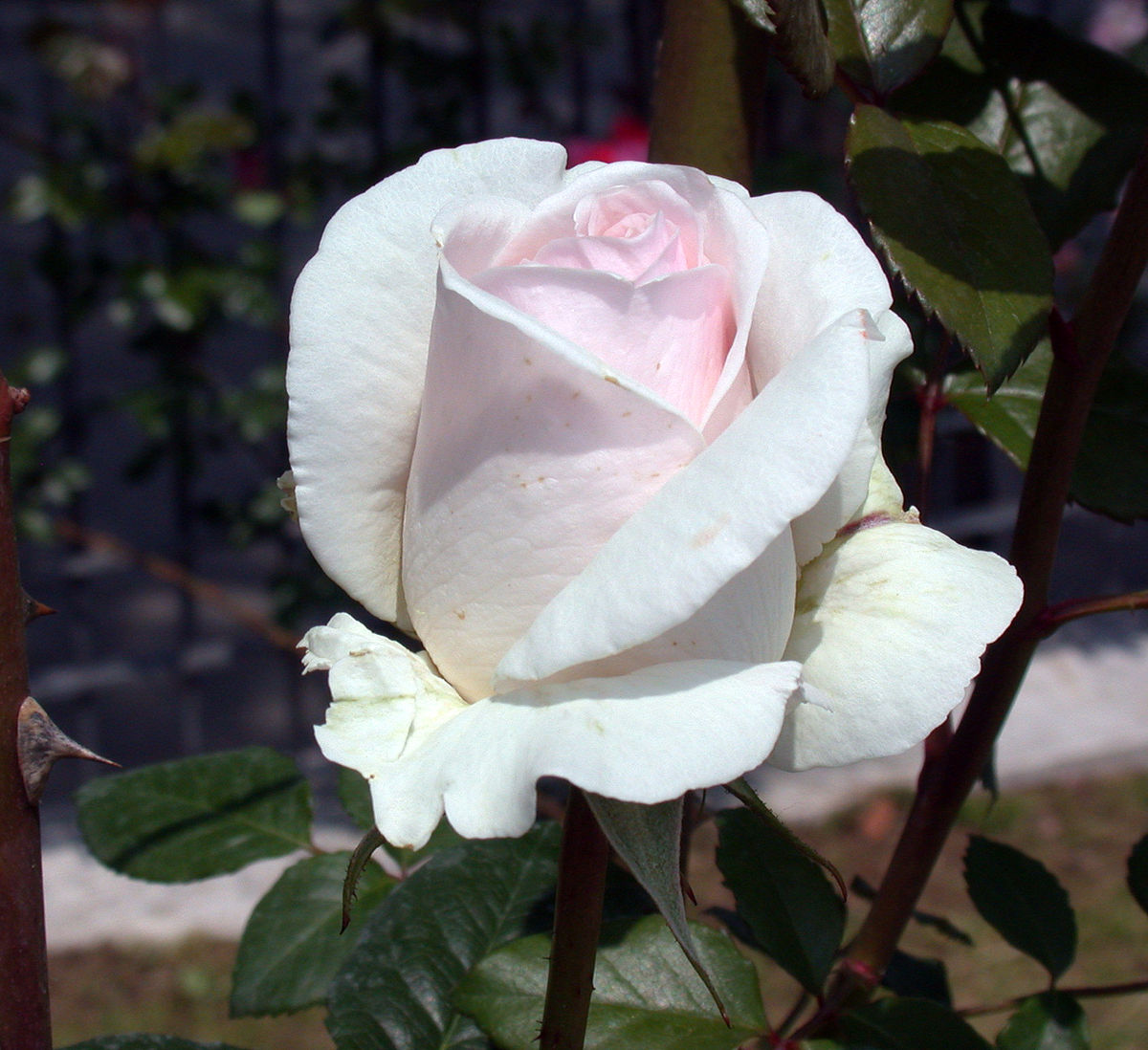 rosa 39 julia renaissance 39 wikipedia la enciclopedia libre