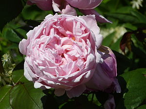 David C.H. Austin - Image: Rosa 'Brother Cadfael' (Rosaceae) flower