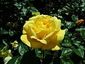 Rosa Arthur Bell 2019-05-29 4149.jpg