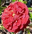 Rosa Brown Velvet 1.jpg