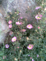 Rosa canina in Darband.png