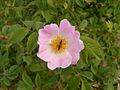 Rosa dumalis2.JPG