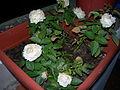 Rosal de rosas blancas.JPG