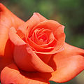Rose, Lady Rose, バラ, レディ ローズ, (18279400446).jpg