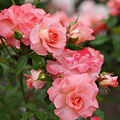 Rose, Liverpool Echo, バラ, リバプール エコー, (15319525043).jpg