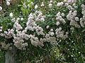 Rose Paul's-Himalayan-Musk-Rambler (4644606681).jpg