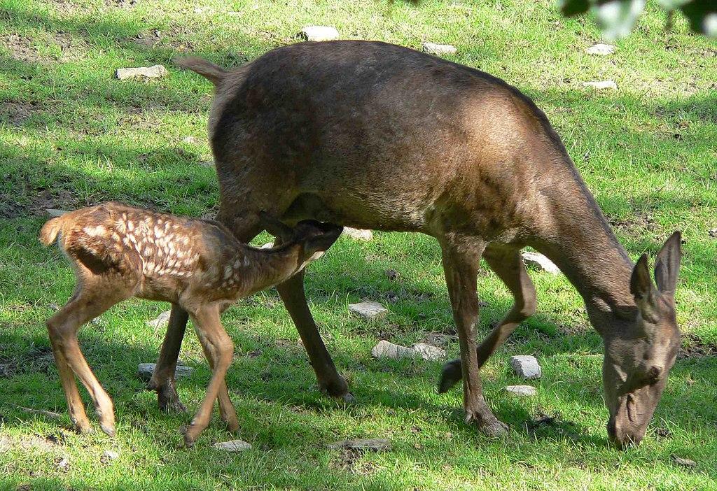Jeleň lesný (lat. Cervus elaphus) - samica (laň) s mláďaťom