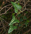 Rough Bindweed (Smilax aspera) leaves (15728809527).jpg