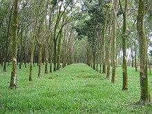 Rubbertrees malaysia.jpg