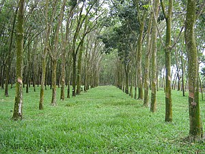 Economy of Malaysia - Rubber plantation in Malaysia