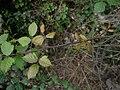 Rubus ulmifolius Buskett Gardens Malta 04.jpg