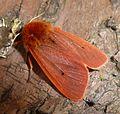 Ruby Tiger. Phragmatobia f.fulginosa - Flickr - gailhampshire (3).jpg