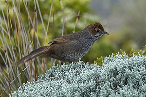 Bristlebird - Rufous bristlebird