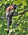 Rufous Treepie I IMG 9136.jpg