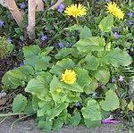 Ruhland, Brauhausplatz bei Mittelstr. 1, Herzblättrige Gämswurz, blühende Pflanze, Frühling, 01.jpg