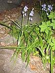Ruhland, Grenzstr. 3, Spanisches Hasenglöckchen, blau blühend, Frühling, 03.jpg