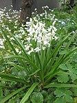 Ruhland, Grenzstr. 3, Spanisches Hasenglöckchen, weiß blühend, Frühling, 03.jpg