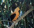 Rupicola peruvianus - Flickr - Dick Culbert.jpg