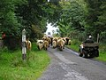Rush hour on Jura. - geograph.org.uk - 320345.jpg