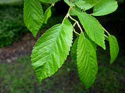 SHHG Ulmus minor from Iran.jpg