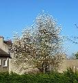 Saint-Cyr-l'École arbre en fleurs.jpg