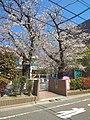 Sakura in front of Tsutsuji Nursery.jpg