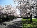Salem Oregon cherry blosoms.JPG