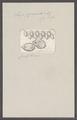 Salpa pyramidalis - - Print - Iconographia Zoologica - Special Collections University of Amsterdam - UBAINV0274 092 08 0062.tif