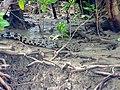 Saltwater Crocodile (Crocodylus porosus) juvenile (15659028819).jpg