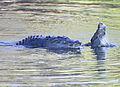 Saltwater croc 6 (15465645205).jpg