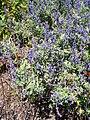 Salvia flocculosa.jpg
