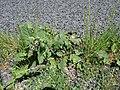 Salvia verbenaca plant4 ST (15938036907).jpg