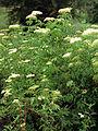 Sambucus nigra ssp canadensis 1120589.jpg