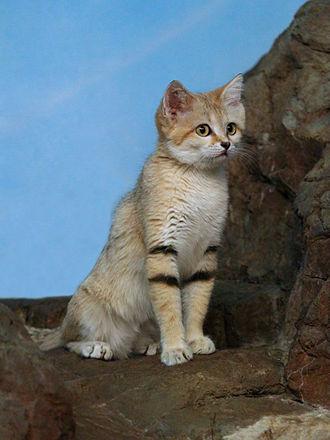 Sand cat - Image: Sand Cat 12