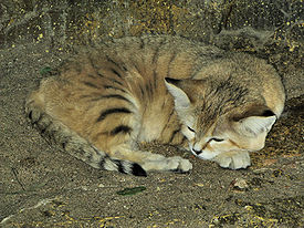 Sand cat at bristol zoo arp.jpg