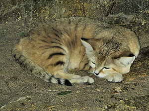 Sand cat - Sand cat in Bristol Zoo, England