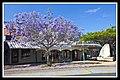 Sandgate Jacaranda in main street-1 (6302129900).jpg