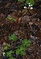 Sanicula europaea RF.jpg