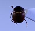 Saphobius sp.png