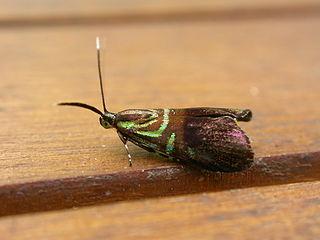 <i>Saptha</i> Genus of moths