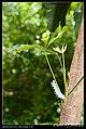 Saturniidae caterpillars (5814771472).jpg