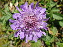 Pincushion Flower. (Scabiosa). picture
