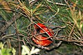 Scarlet Tanager (in nocturnal roost), Tawas Point State Park, 16 May 2013 (8770558861).jpg