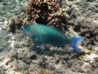 Parrotfish - Image: Scarus psittacus mâle
