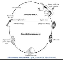 Schistosoma Labeled | www.pixshark.com - Images Galleries ...