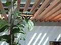 Schmetterling in der Wilhelma.JPG